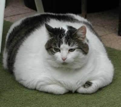 Obesidade em Gatos
